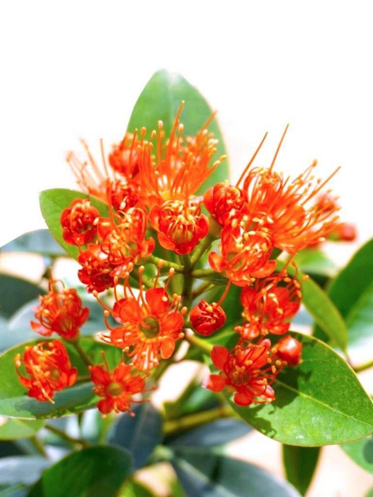 Xanthostemon Youngii Flowers » Flowering Plants