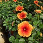 Hibiscus Apollo Big