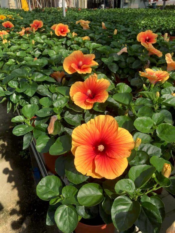 HibisQs® - Apollo Big Hibiscus » Flowering Plants