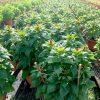 Cockscomb » Flowering Plants
