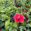 HibisQs® - Dark Grace Hibiscus » Flowering Plants