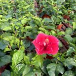 Hibiscus Dark Grace