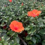 Hibiscus Hera