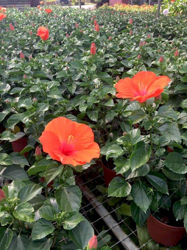 HibisQs® - Hera Hibiscus » Flowering Plants