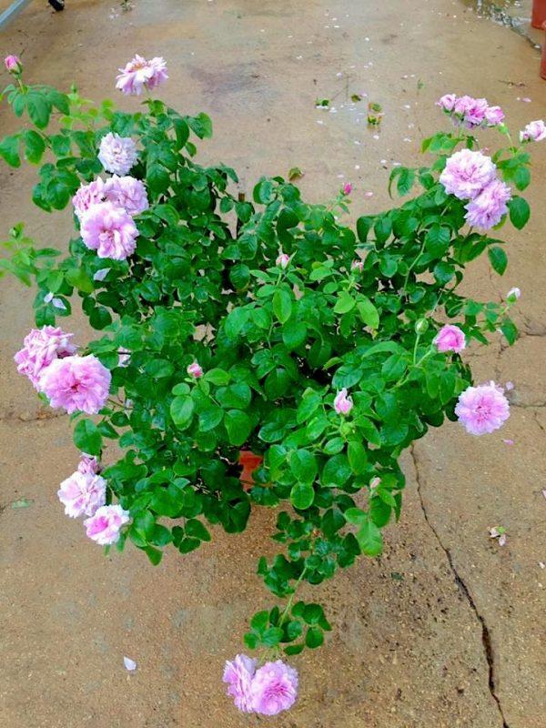 Japanese Rose 'Le Ciel Bleu' » Rose Plants