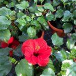 Hibiscus Leto