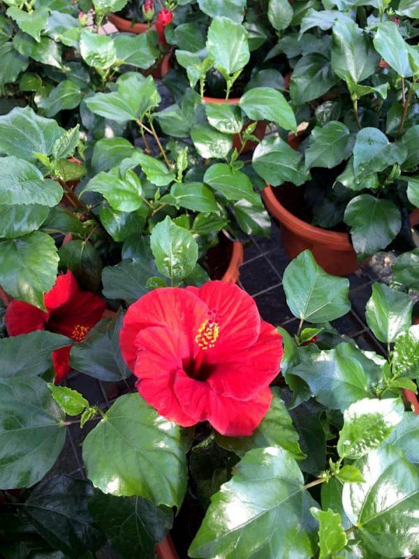 HibisQs® - Leto Hibiscus » Flowering Plants
