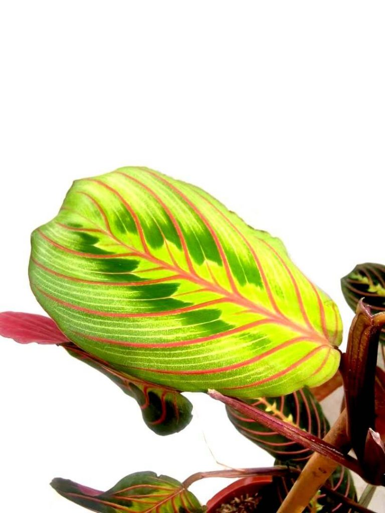 Maranta Leuconeura 'Tricolour Fascinator' / Red Prayer Plant » Foliage