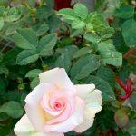 'Moonstone' Rose