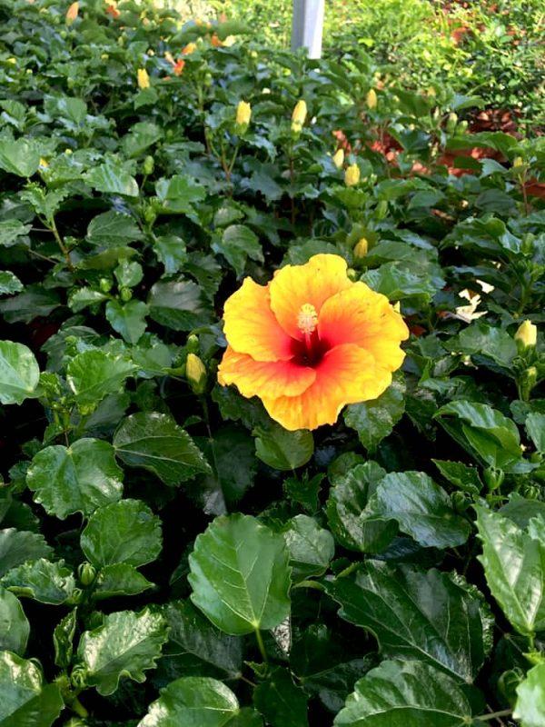HibisQs® - New Apollo Hibiscus » Flowering Plants