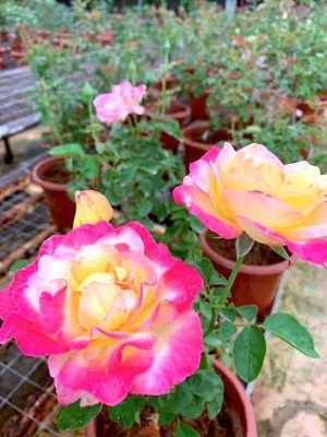 'Party Time' Rose