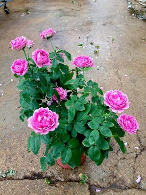 'Purple Bubble' Rose