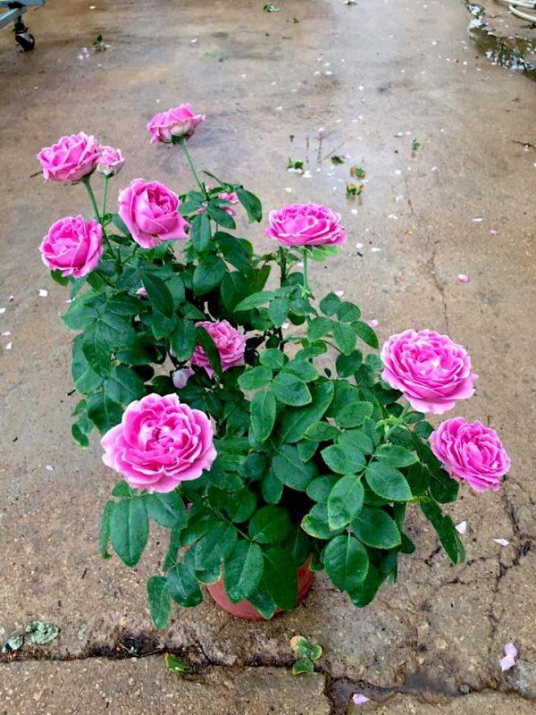 'Purple Bubble' Rose » Flowering Plants