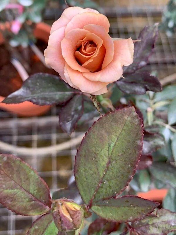 'Raffine Porte' Rose » Rose Plants