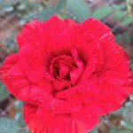 'Red Intuition' Rose