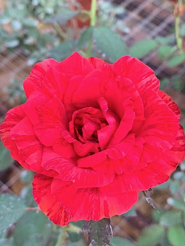 Rosa 'Red Intuition' » Rose Plants
