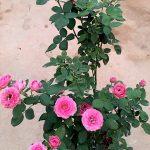 'Ripple Wave' Rose » Flowering Plants