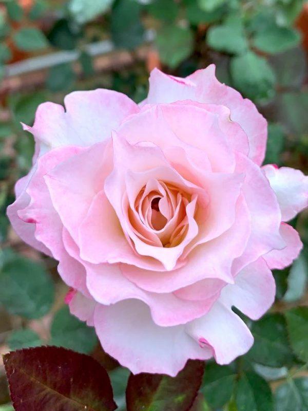 Japanese Rose 'Seraphim' » Rose Plants