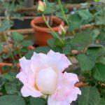'Seraphim' Rose