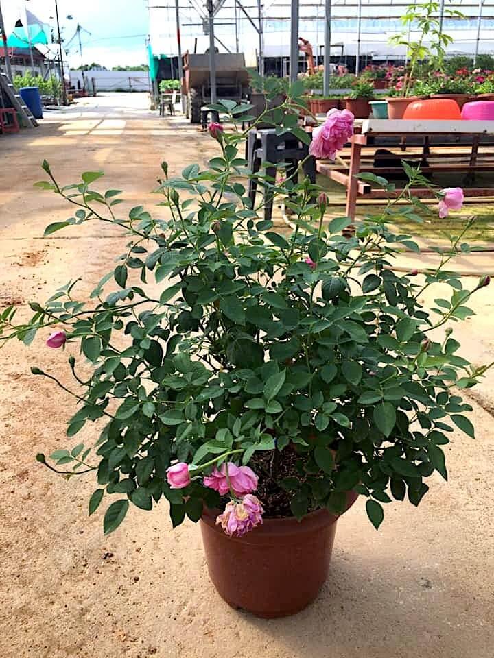 Rosa 'Sister Elizabeth' » Rose Plants