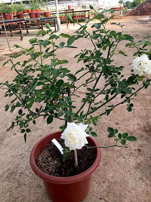 Japanese 'Sur La Neige' Rose » Flowering Plants