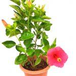 Thailand Hibiscus