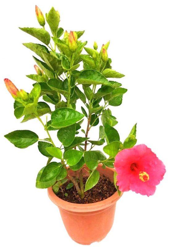 Thailand Hibiscus Pink Flowers
