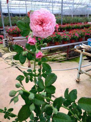 'William Christie' Rose