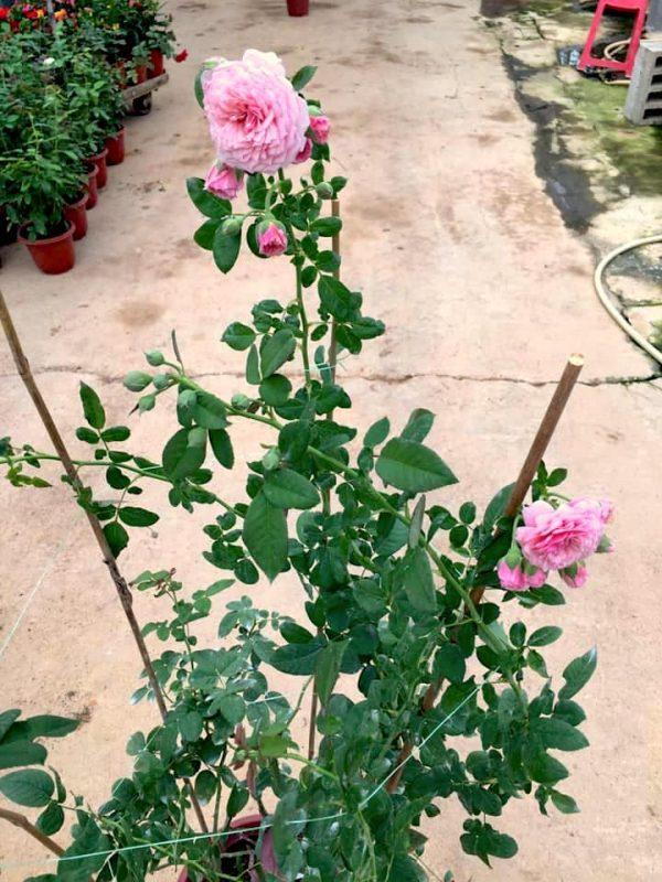 Rosa 'William Christie' » Rose Plants