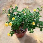 'Yellow Fair' Rose » Flowering Plants