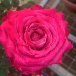 'All for Love' Rose