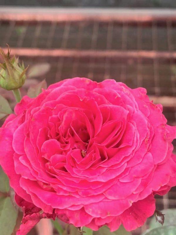 'All 4 Love' Rose » Rose Plants