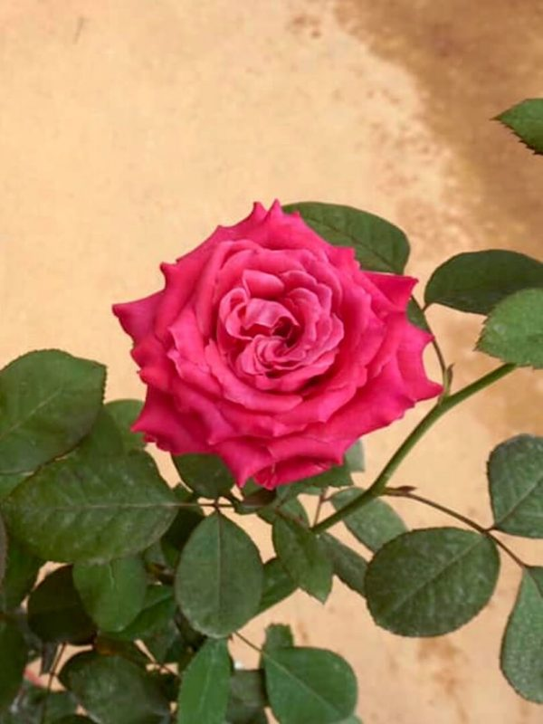 'All For Love' Rose » Rose Plants