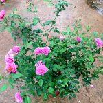 Japanese Rose Plant 'Aoi' » Rose Plants