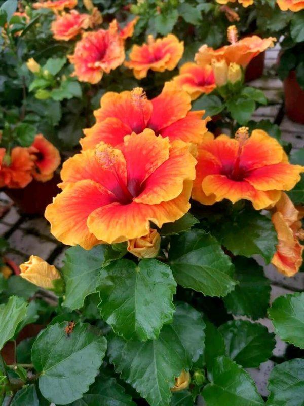 HibisQs® - Apollo 4 Hibiscus » Flowering Plants