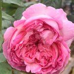 'Aube' Rose