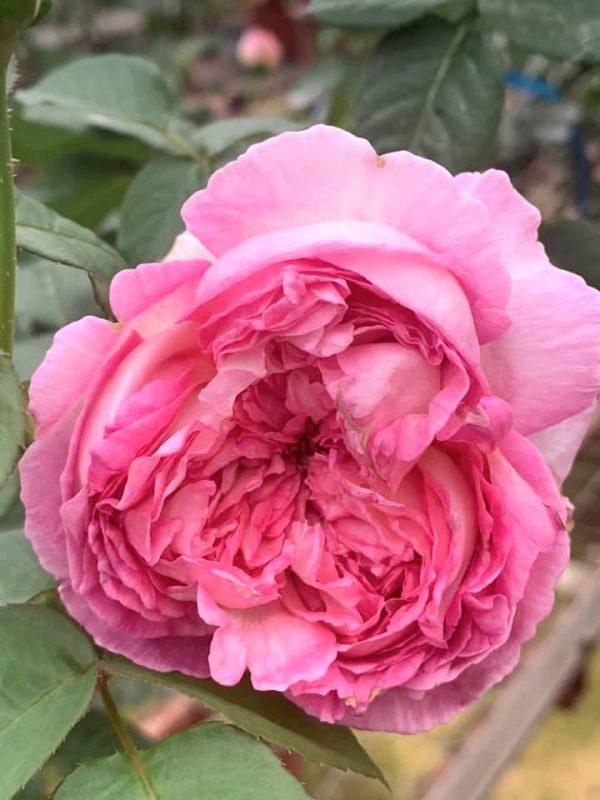 'Aube' Rose » Flowering Plants