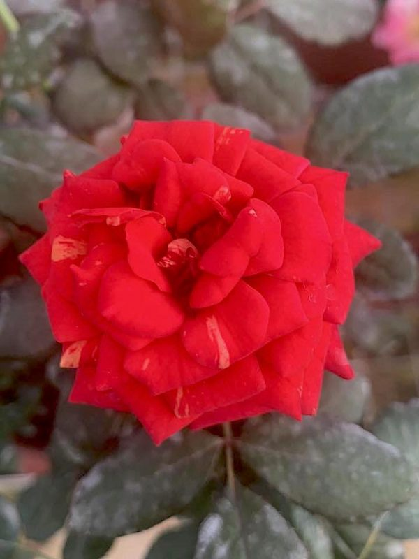 'Bigoudi' Rose » Flowering Plants