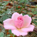 'Blue Emotion' Rose