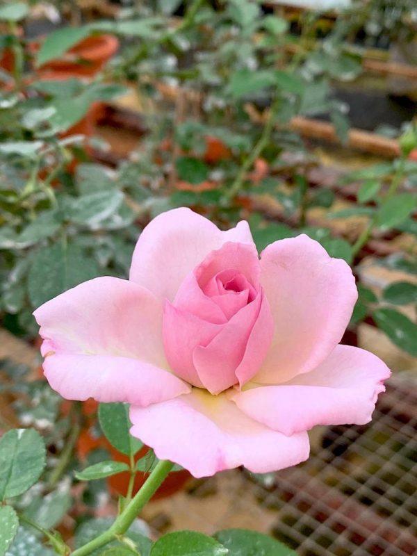 'Blue Emotion' Rose » Flowering Plants
