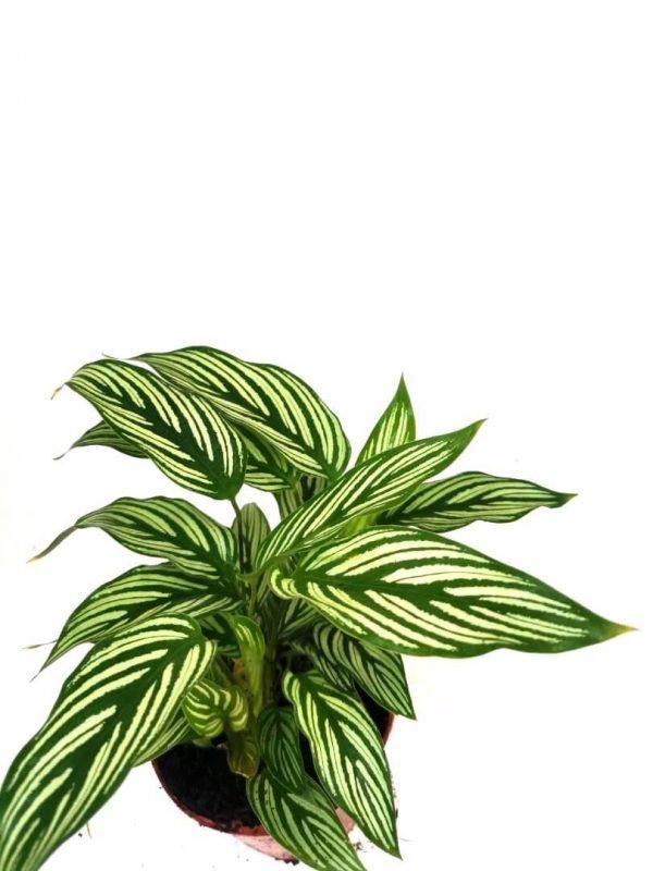 Calathea Elliptica Vittata » Foliage
