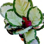 Calathea Roseopicta 'Rosy'