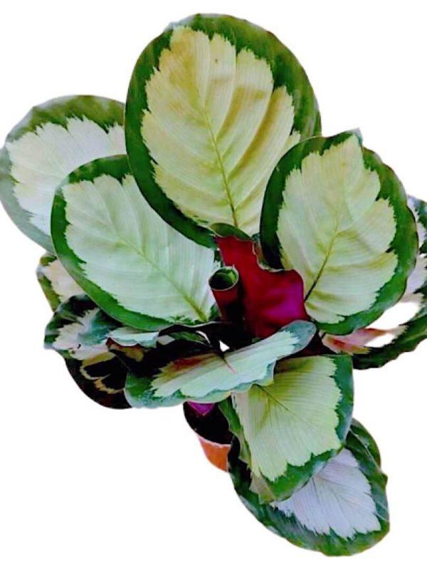 Calathea Roseopicta Rosy » Foliage