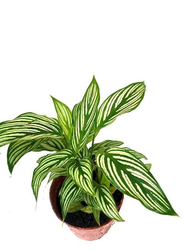 Calathea Vittata » Foliage