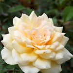 'Chandos Beauty' Rose