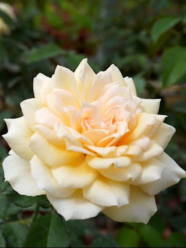 'Chandos Beauty' Rose » Flowering Plants