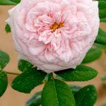 'Claire Austin' Rose » Rose Plants