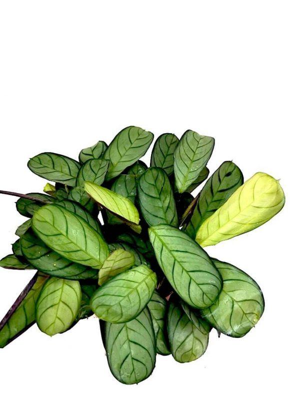 Ctenanthe Burle-Marxii Amagris » Foliage