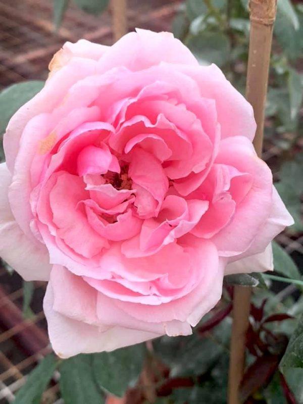 Rosa 'Eckart Witzigmann' » Rose Plants