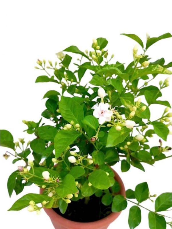 Jasmine Plant - Single Layer » Flowering Plants
